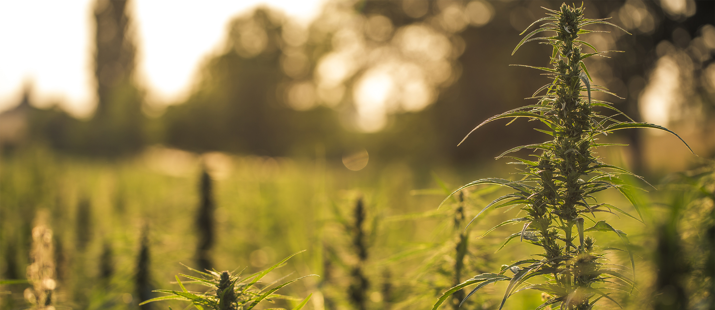 Growing Industrial Hemp-Risks and Rewards